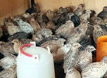 طيور سمان جاهز للذبح والنربيه ومنتج