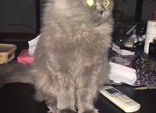 Three Cherazi cats for Sale/ 3 قطط شيرازي للبيع