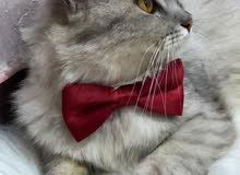 قطط شيرازي لبيع الذكر وانثا