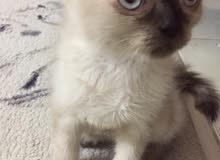 هملايا شوكلت
