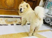 كلب جاجاو
