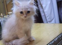 Fullfy beautiful playful creamy and white  Persian male kitten