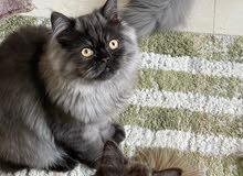 Male kitten cat pure persian