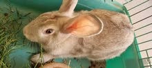 rabbit for sale 50 aed