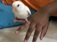 love bird chick violet color