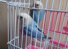 من نوادر الطيور زوج روز اوبلاين فايلوت كوبالت وايت فيس شغالين للتكاثر والتفريخ