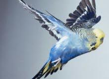 عصافير حب فوق النخب مع فراخ وبيض ولقفاص للبيع او للبدل