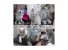 قطط شيرازي للبيع عمر شهرين واقل