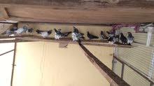 للبيع مجموعه فروخ طيور ممتازه