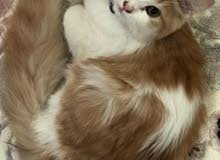 قطه تركيه تحب تلعب مع الصغار وتليفه