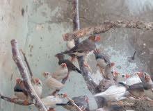 خشه طيور جنه شغالات