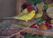 3طيور دبل فاكتر اصفر سوق 5ميل