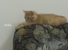 قطة شيرازيه للبيع مع جميع المستلزمات وبسعر مناسب