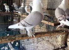سلام وعليكم مطلوب طيور مثل الي بل صور