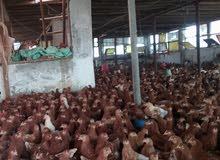 دجاج بياض عمر 100 يوم