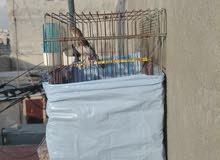 عصافير كنارات شغالة