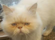 قط هملايا بيكي فيس عمره 10 شهور