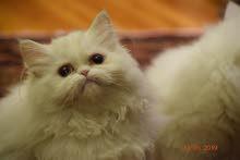 للبيع قطة برشين بيور