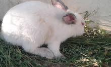 أزواج ارانب للبيع  ب20