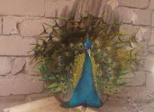 زوجين طاووس للبيع