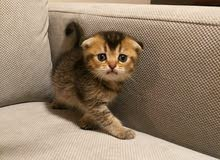 Scottish Fold Kitten - Gold - Female (Pure)