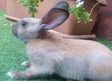 ارنب كراميلي اللون ع بني، مع قفصه واكله ومكأفاته ونشارة الخشب.
