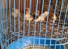 طيور زيبرا للبيع - منتجة