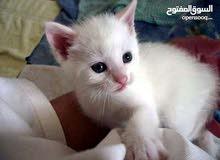 قطه شيرازيه صغيره العمر شهرين و4 أيام بيضاء جميله آخر وحدا يسر مغري 35 دينار بس