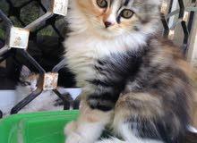 قطط جميلة وبأقل الأسعار