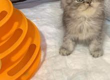 قطط للبيع بالاحساء