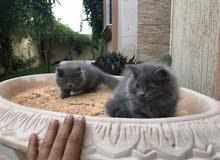 قطط فارسي للبيع
