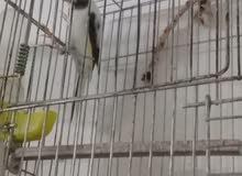 سبع عصافير للبيع علا السمع