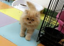 للبيع قط بيكي فيس