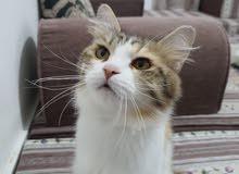 قطة انثى شيرازي تركي للبيع في ابوظبي مع كامل مستلزماتها  قابل للتفاوض