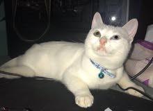 قطة للبيع 5 شهور