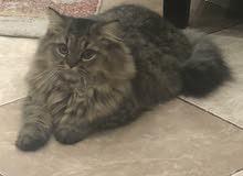 قطط شيرازية للبيع بجدة