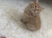 cute kittens for sale