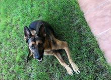 كلب ولف للبيع عمره 6شهور