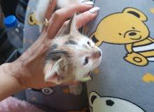 قطه انثى عمر شهر ونص
