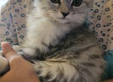 قطة انثى شيرازي للبيع