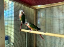 Pinapple conure pair with DNA