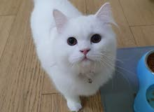 قطة شيرازي لطيفة للبيع