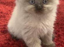2 Month old Himalayan Persian kitten