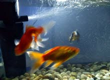 حوض سمك مع كامل اغراضه وسبعة اسماك للبيع او البدل على عصافير