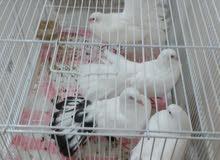 laka pigeon fancy 2 pair