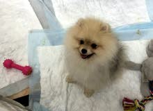 Pure Pomeranian Dog
