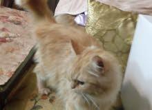قطة جميلة ونظيفة ومدربة