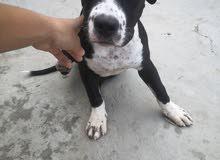 كلب بيتبول عمره 5 شهور