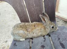 أرنب للبيع