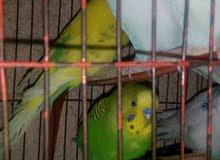 عصافير استرال متنوع